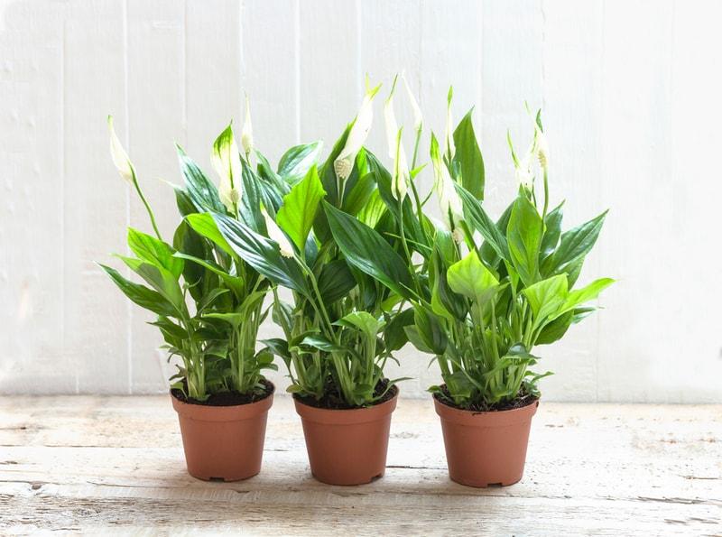 roślina nawilżająca powietrze